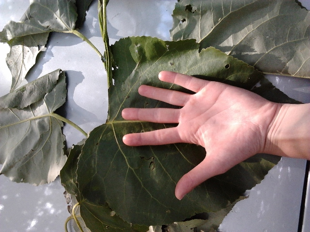 Leaf from the 2013 Growing Season