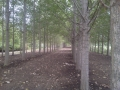 Poplar Trees Reclaimation of Soil